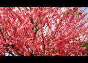 Retrato da Amizade - Cerejeiras em Flor - Chico Xavier