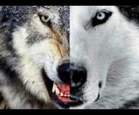 Os Lobos Internos (Todos nós temos 2 lobos que vivem dentro de nós)