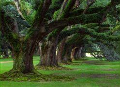 Velhas Árvores (Olavo Bilac)