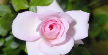 Cada Mãe é Uma Flor